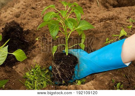 Planting Vegetable Plant. Hand Farmer Plant Young Pepper In Ground With Top Dressing Of Grass Close Up.