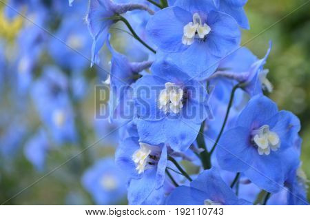 Blue delphinium during flowering photographed close-up in the garden