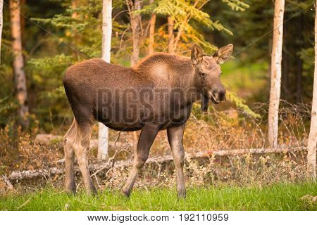 A young moose calf takes a moment to check her surroundings while grazing