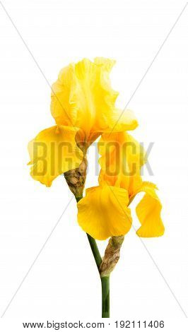 Yellow flower iris isolated on white background