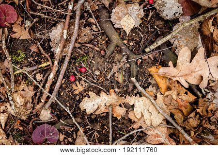 Natural oak forest ground with some leaves twigs and berries. Forest soil texture background