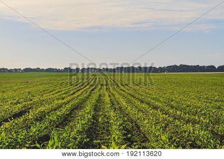 Corn field in the summer morning, Agrarian cultures, popcorn