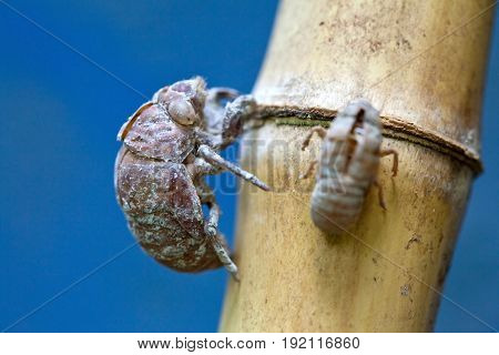 Cicada exuviae attached to a bamboo stem