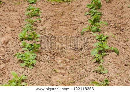 Young Sprouts Of Potato With Green Leaves Growing From Soil On Potato Field Top View.