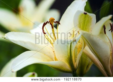 White lilies. Flowers white lilies. Extreme closeup of the trumpet shaped flower of a white amaryllis.