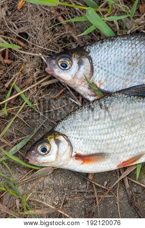 Two Freshwater Fish White Bream Or Silver Fish On Black Fishing Net..