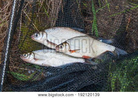 Several Freshwater Fish: White Bream Or Silver Fish, White-eye Bream And Zope Or The Blue Bream On B