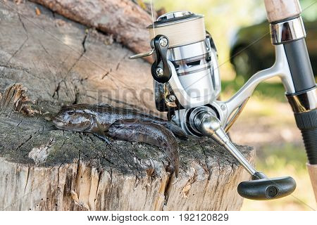 Two Freshwater Bullhead Fish Or Round Goby Fish Just Taken From The Water And Fishing Rod With Reel