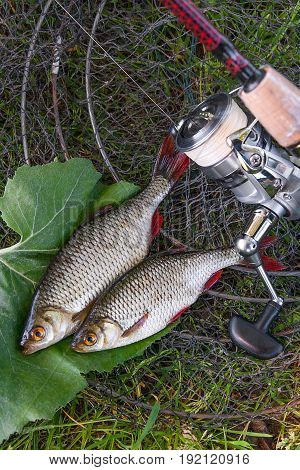 View Of Two Freshwater Common Rudd Fish On Black Fishing Net And Fishing Rod With Reel..