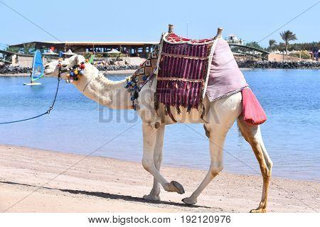 Camel Walking Along Beach
