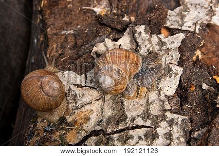Two Burgundy Snails (helix, Roman Snail, Edible Snail, Escargot) Crawling On The Trunk Of Old Aspen
