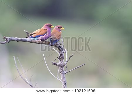 Pair of Broad Billed Rollers sitting together on a branch