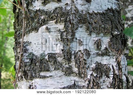 Texture of a white birch tree with a black