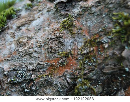The texture of the bark of the apple tree, the old bark and moss