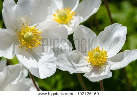 Snowdrop Anemone Blossom - Large White Flower With Yellow Stamen