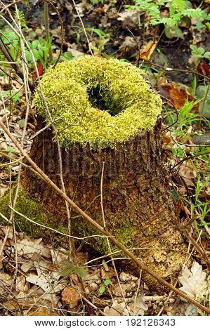 beautiful tree stump with a hole whole in the moss lichens and sphagnum