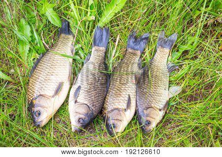 A few small crucian on a green grass. Fishing for crucian carp. Carassius
