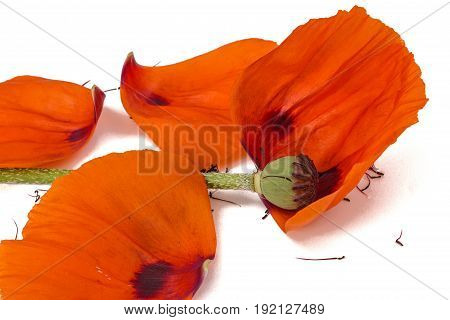 Poppy Flower With Fallen Petals, Isolated On White Background
