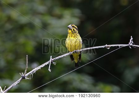 Spot-winged Grosbeak Mycerobas Melanozanthos Female Birds Of Thailand