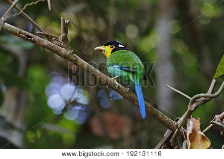Long-tailed Broadbill Psarisomus Dalhousiae Cute Birds Of Thailand