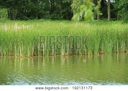 green reed growing in the pond and ducks swimming near it