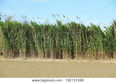 reed growing on the bank of a dry pond, Poodri, Czech Republic