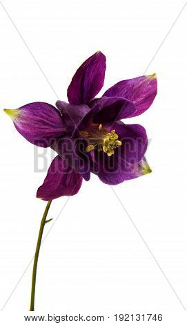aquilegia violaceous flower isolated on white background
