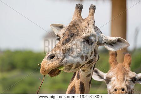 Close-up portrait of a giraffe head Giraffa Camelopardalis eating bush.