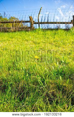 The nice Single Dandelion on the meadow
