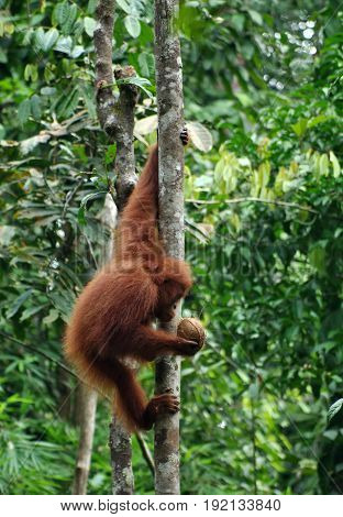 Small orangutan hang on the tree and looks on the kokos in his hand. Orangutan or pongo pygmaeus in the wild.