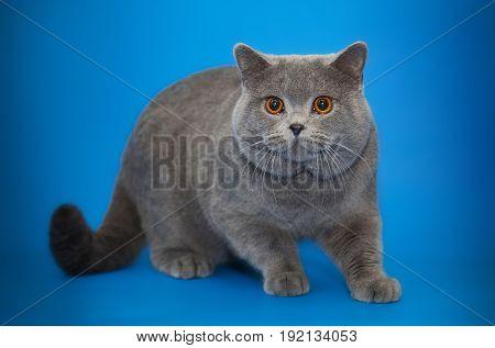 Beautiful big British cat on studio background