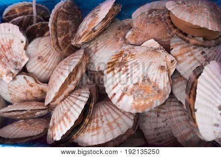 Lots of japanese scallops on the market