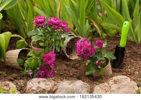 Planting Flowers. Purple Flowers Chrysanthemum In Peat Pots In Ground With Tool Scoop In Flowerbed In Garden.