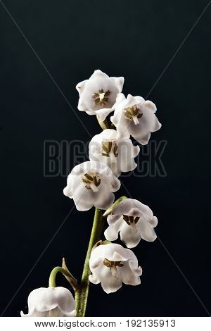 Twig and beautiful white flowers of lily of the valley