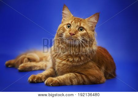 Red cat Maine Coon lies on a studio blue background.