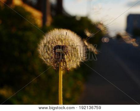 Dandelion flower and flying seeds on wind at Golden hour
