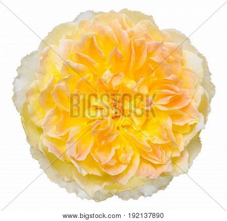 Yellow Rose Flower Isolated On White With Clipping Path