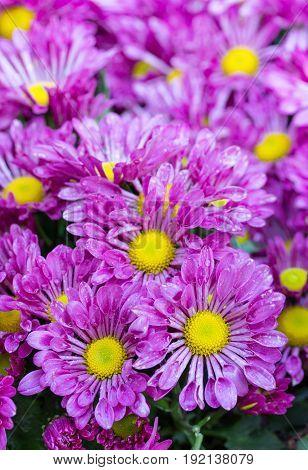 purple chrysanthemums daisy flower in the garden