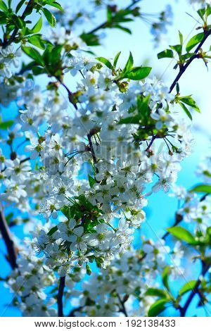 white branches of the blossoming cherry-tree in the spring