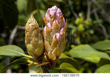 Rhododendron flower buds against green leaf foliage