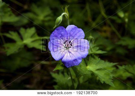 A purple geranium flower against green foliage