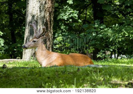 A White-tailed deer rests in the grass