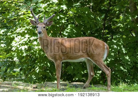 A White-tailed buck stands in the woods