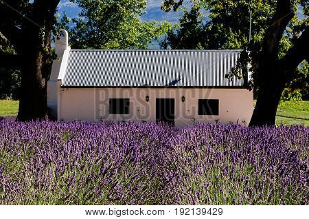 White Stucco house with metal roof sitting in a field of lavender.