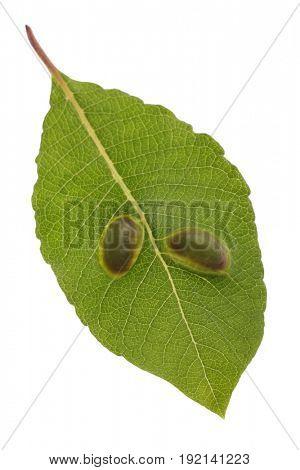 Sawfly galls on a willow leaf.