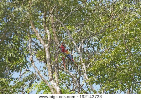 Scarlet Macaws in a Tropical Tree in Tortuguero National Park in Costa Rica