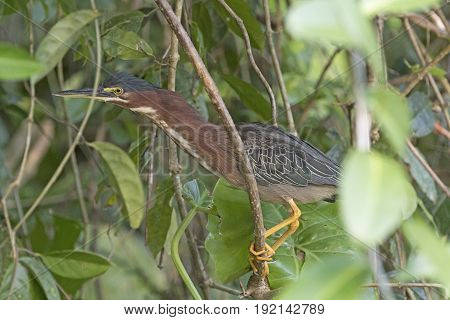 Green Heron Hiding in the Trees in Tortuguero National Park in Costa Rica