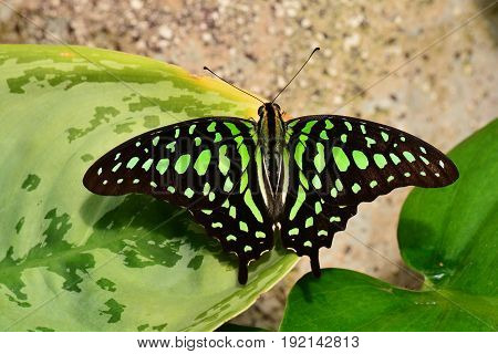 A tailed jay butterfly lands in the gardens for a visit.
