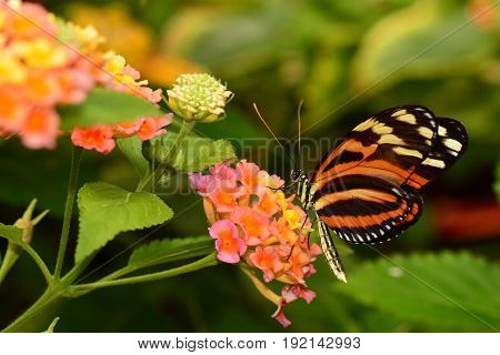 A Isabella longwing butterfly feeds on nectar in the gardens.