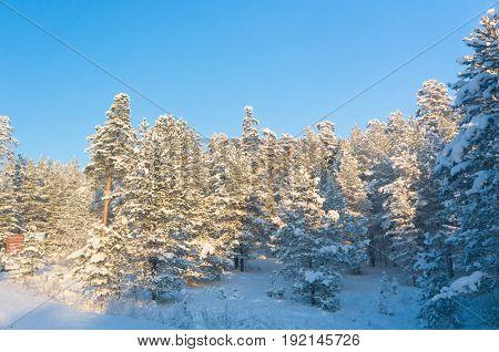 Snowy Fir Trees Cold Sunshine
